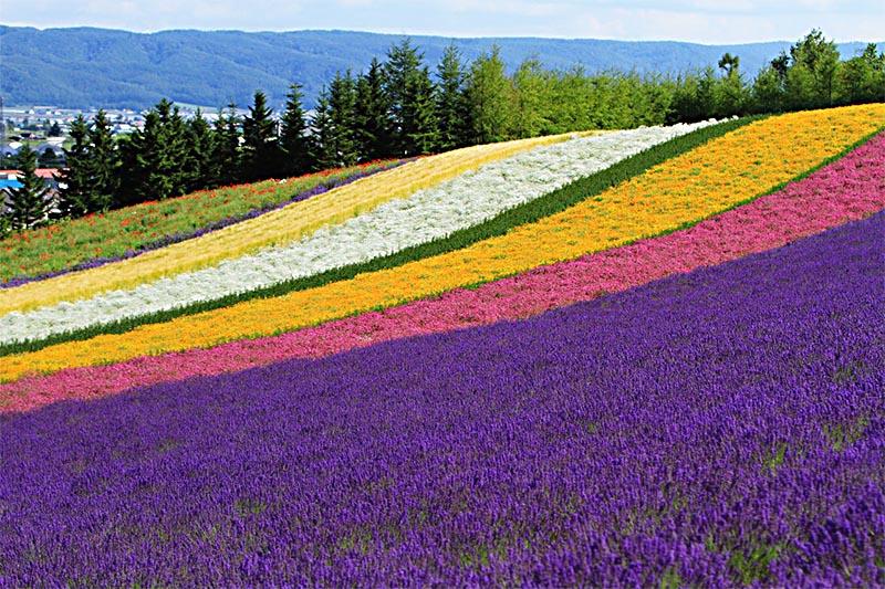 Un campo coltivato policromo con il viola della lavanda in primo piano