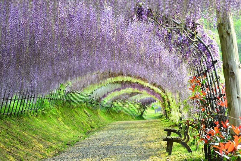 tunnel di wisteria a Fukuoka