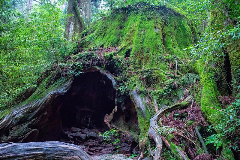 L'enorme ceppo di un cedro millenario