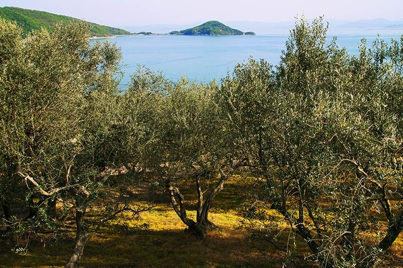 numerosi ulivi con il mare sullo sfondo