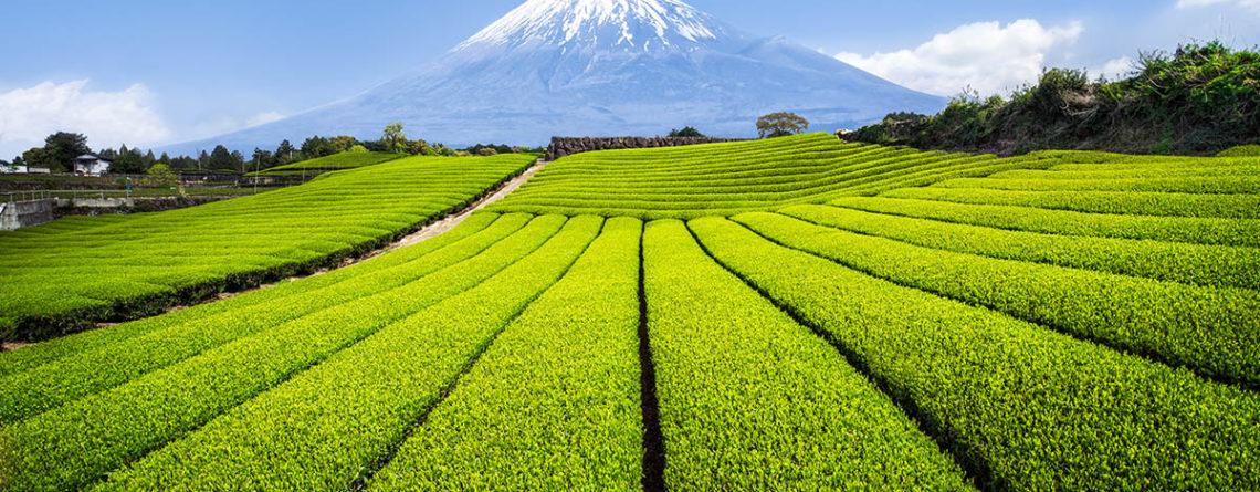 campi di tè verde sotto il monte fuij