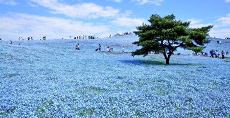 fiori giapponesi blu - watabi