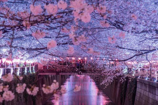 Alberi di Ciliegio in fiore durante il Sakura